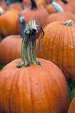 Pumpkin in Field  4 Stock Image