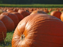 Pumpkin field 5. A large pumpkin up close, with the remainder of the pumpkin field behind it Stock Photos