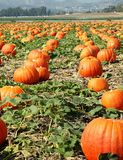 Pumpkin field Stock Photos