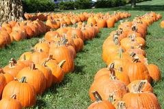 Pumpkin field. On a bright autumn day Royalty Free Stock Images