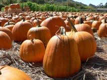 Pumpkin Field. A Field of pumpkins awaiting harvest in California Stock Photo