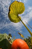Pumpkin Field. Fresh pumpkin and tall leaf in a pumpkin-patch Royalty Free Stock Photography