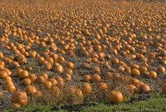 Pumpkin field. Field of orange pumpkins ripe for harvesting Stock Photo