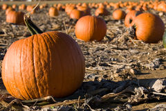 Pumpkin Field Royalty Free Stock Image