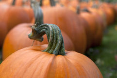 Pumpkin in Field 7 Stock Images