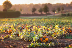 Pumpkin field in autumn Stock Images