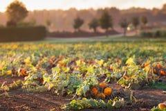 Pumpkin field in autumn Stock Images