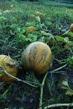 Pumpkin on field. Big ripe pumpkin on the field, harvesting Stock Photo