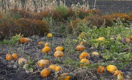Pumpkin field on a bright autumn day photo stock images