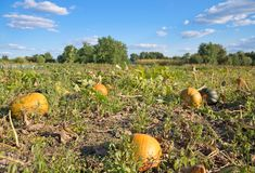 Pumpkin field and bright blue sky with clouds Stock Photo