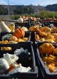 Pumpkin Field in California. Pumpkin fields in California, along U.S. route 101 Royalty Free Stock Image