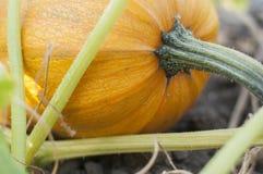 Pumpkin in a field Stock Photo