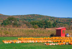 Pumpkin field with corn Royalty Free Stock Photography