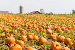 Pumpkin field in a country farm,   autumn landscape. Royalty Free Stock Photos