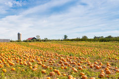 Pumpkin field in a country farm,   autumn landscape. Royalty Free Stock Photography