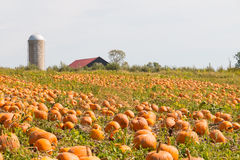 Pumpkin field in a country farm,   autumn landscape. Stock Photography