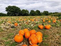 Pumpkin field in a country farm royalty free stock photography