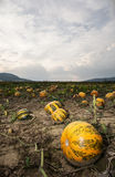 Pumpkin field and dramatic sky Stock Photo