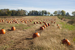 Pumpkin field in Fall Stock Photos