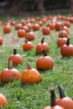 Pumpkin field. Field filled with small pumpkins for halloween Royalty Free Stock Photo
