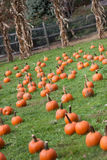 Pumpkin field. Field filled with small pumpkins for halloween Royalty Free Stock Image