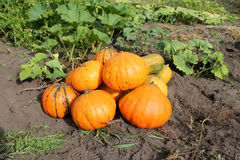 Pumpkin field, harvest Royalty Free Stock Images