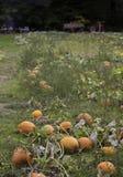 Pumpkin field harvest Royalty Free Stock Photo