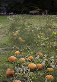 Pumpkin field harvest Stock Photo