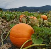 Pumpkin field with hills in background royalty free stock photography