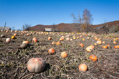 Pumpkin field with of huge ripe pumpkins Royalty Free Stock Images