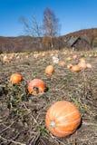 Pumpkin field with huge ripe pumpkins Stock Images