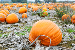 Pumpkin field with a lot of big pumpkins Royalty Free Stock Images