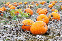 Pumpkin field with a lot of big pumpkins Stock Image
