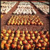 Pumpkin field Stock Image