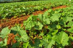 Pumpkin field in India stock image