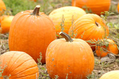 Pumpkin Field no.3 Royalty Free Stock Images