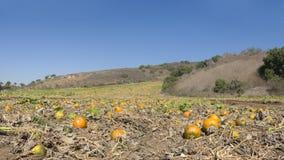 Pumpkin Field Panorama