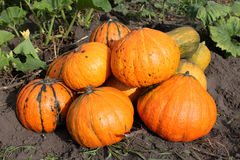 Pumpkin on the field Royalty Free Stock Photo