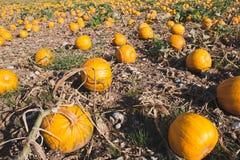 Pumpkin field Stock Images