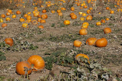 Pumpkin field Royalty Free Stock Photography