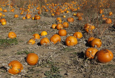 Pumpkin field Royalty Free Stock Images