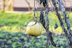 Pumpkin on field Stock Photography