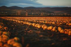Pumpkin field at sunset. Beautiful landscape in Hungary royalty free stock image
