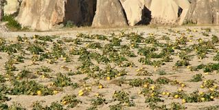 Pumpkin field,Turkey. Cappadocia. Stock Image