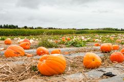 Pumpkin Filed in a Country Farm in Autumn royalty free stock images