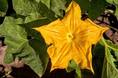 Pumpkin Flower Royalty Free Stock Photography