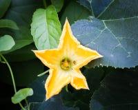Pumpkin flower in the backyard Stock Photo