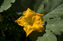 Pumpkin flower Royalty Free Stock Image