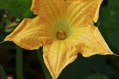 Pumpkin Flower Bud growing in the garden. Yellow Pumpkin Flower Bud growing in the garden Royalty Free Stock Photos
