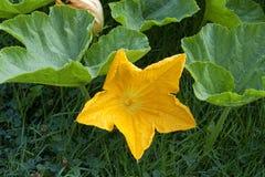 Pumpkin Flower Stock Photos